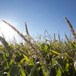 Fertilización y riego en el maíz